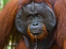 一只公猩猩的画象 特写镜头 印度尼西亚 加里曼丹& x28海岛; Borneo& x29; 库存照片