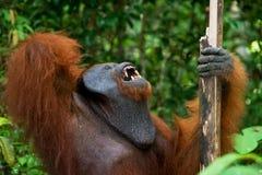 一只公猩猩的画象 特写镜头 印度尼西亚 加里曼丹& x28海岛; Borneo& x29; 库存图片