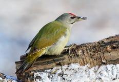 一只公白发啄木鸟坐森林日志被盖的雪 库存图片