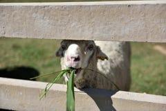 一只公绵羊有他的与微笑的面孔的午餐时间在一个农场在一好天儿 免版税图库摄影