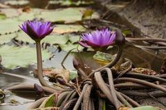 美国牛蛙在厄瓜多尔 库存照片