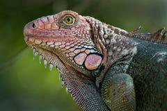 一只公鬣鳞蜥的画象 库存照片
