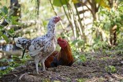 一只公鸡和母鸡的图象在自然背景 动物农场横向许多sheeeps夏天 库存照片