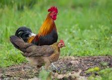 一只公鸡和母鸡的图象在自然背景 库存图片