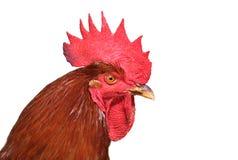 一只公鸡有白色背景 库存照片