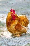 一只公鸡的特写镜头在仓前空地 库存照片