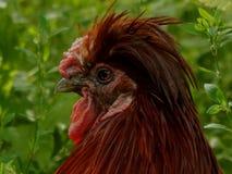 一只公鸡的画象与冠的 库存照片