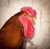 一只公鸡的画象在农场的 免版税库存图片