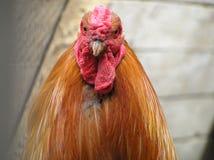 一只公鸡 库存图片