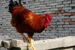一只公鸡 免版税图库摄影