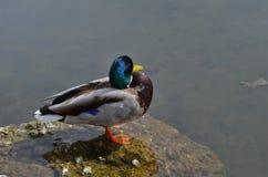 一只公鸭子的美好的羽毛颜色在一个湖的在德国 库存图片