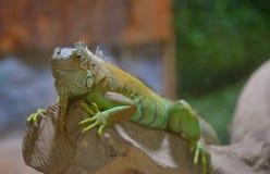 一只公绿色鬣鳞蜥的特写镜头 库存图片
