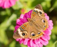 一只共同的七叶树蝴蝶的背面观 免版税库存照片