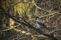 一只共同的乌鸦的画象坐树枝 图库摄影