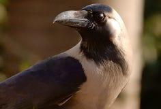 一只共同的乌鸦的画象 免版税库存图片