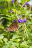 一只共同的乌鸦蝴蝶的特写镜头在一片绿色叶子的 库存照片