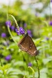 一只共同的乌鸦蝴蝶的特写镜头在一片绿色叶子的 免版税库存照片