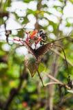 一只共同的乌鸦蝴蝶的特写镜头在一片绿色叶子的 图库摄影