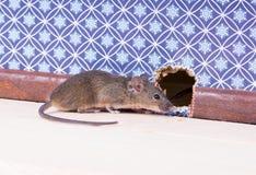 一只共同的家鼠(Mus肌肉)在貂皮附近的墙壁 免版税库存图片