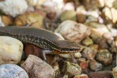 一只共同的庭院skink小蜥蜴的图象在岩石的 爬行动物 免版税库存照片
