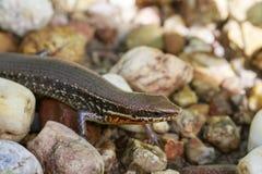 一只共同的庭院skink小蜥蜴的图象在岩石的 爬行动物 库存图片