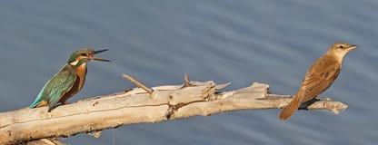 一只共同的翠鸟和paddyfield鸣鸟的异常的照片 库存照片