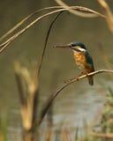 一只共同的翠鸟 免版税库存照片