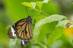一只共同的老虎蝴蝶的特写镜头 免版税库存图片