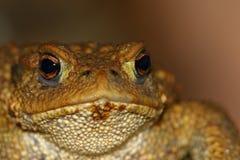 一只共同的蟾蜍的顶头画象 免版税库存照片