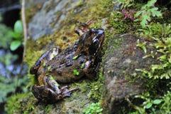 一只共同的青蛙。 图库摄影