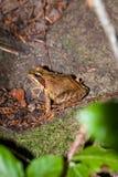 一只共同的青蛙的侧视图,蛙属temporaria 库存照片