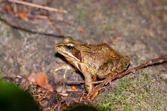 一只共同的青蛙的侧视图,蛙属temporaria 免版税库存图片