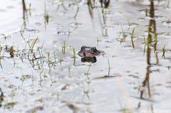 一只共同的青蛙 库存图片