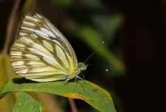 一只共同的鸥蝴蝶 免版税库存图片