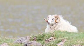 一只冰岛大垫铁绵羊 免版税库存图片