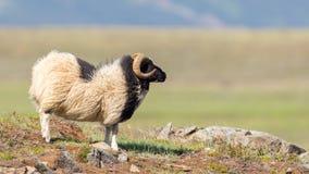 一只冰岛大垫铁绵羊 库存图片