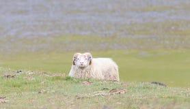 一只冰岛大垫铁绵羊 免版税库存照片