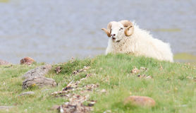 一只冰岛大垫铁绵羊 库存照片