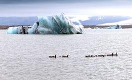 一只冰河湖、冰和鹅 免版税图库摄影