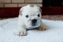 一只几乎没有站立的白色英国牛头犬小狗 图库摄影