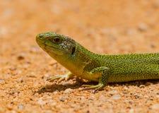 一只利比亚鲜绿色蜥蜴的纵向 免版税库存照片