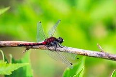 一只北方Whiteface蜻蜓的特写镜头与损坏的翼的 库存照片