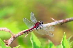 一只北方Whiteface蜻蜓的特写镜头与损坏的翼的 免版税库存照片
