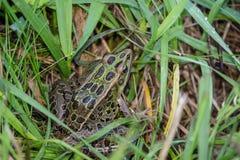 一只北豹子青蛙在绿草坐 库存图片
