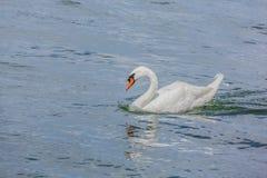 一只华美的白色天鹅在湖 库存图片