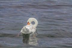 一只华美的白色天鹅在湖 库存照片