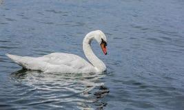 一只华美的白色天鹅在湖 图库摄影