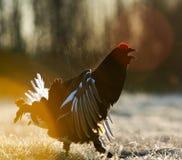 一只华美的lekking的黑松鸡(北欧产雷鸟类tetrix)的画象 免版税库存图片