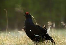 一只华美的lekking的黑松鸡(北欧产雷鸟类tetrix)的画象 库存图片