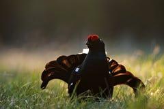 一只华美的lekking的黑松鸡(北欧产雷鸟类tetrix)的画象 图库摄影